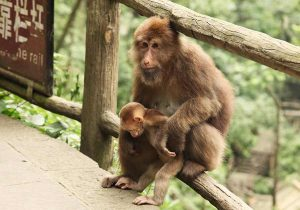 mont-emei-singe