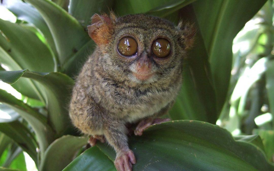 Tarsier Philippines : Un Petit Primate Incroyable à Voir !