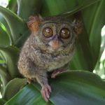 tarsier-philippines
